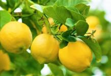 Lemon Obat Kanker