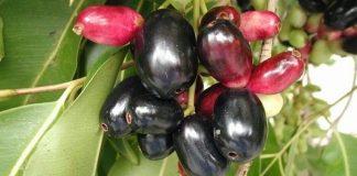 buah jamblang untuk resep herbal asma