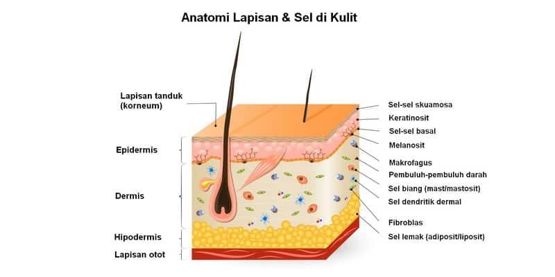 anatomi lapisan & sel di kulit