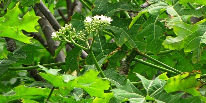 efek samping & bahaya daun pepaya jepang