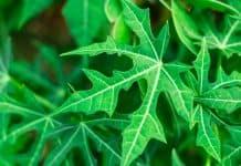 daun pepaya jepang bukan penyebab kanker