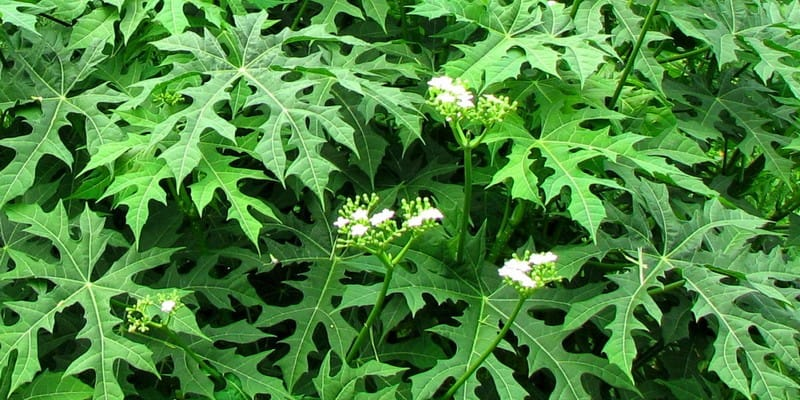 khasiat daun pepaya jepang untuk kesehatan