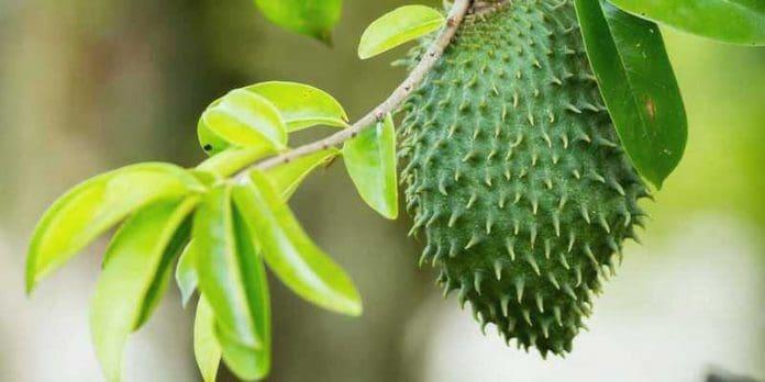 manfaat daun sirsak untuk kanker serviks
