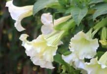 bunga kecubung untuk mengatasi sakit gigi