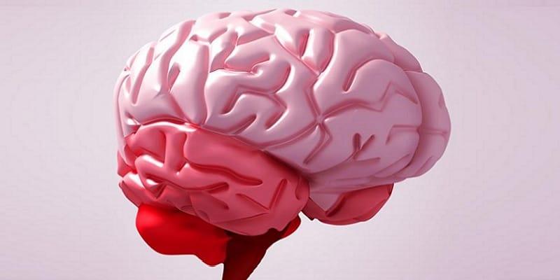 organ otak