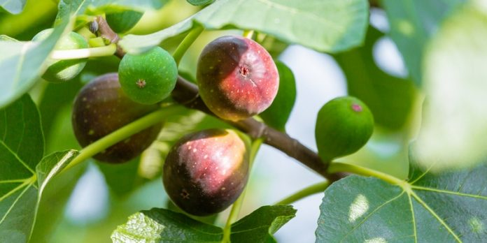 buah ara atau tin