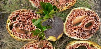 sarang semut - tumbuhan anti kanker