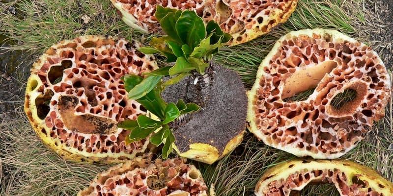 sarang semut - obat herbal penyembuh kanker payudara