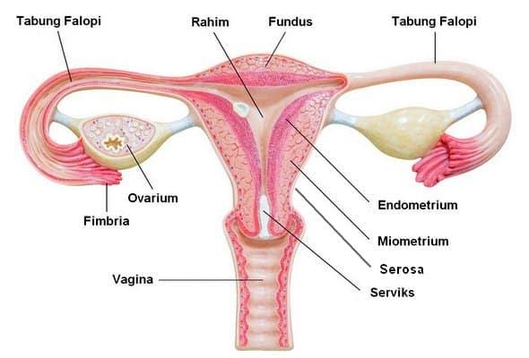 struktur rahim