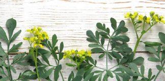 ramuan herbal sakit kepala
