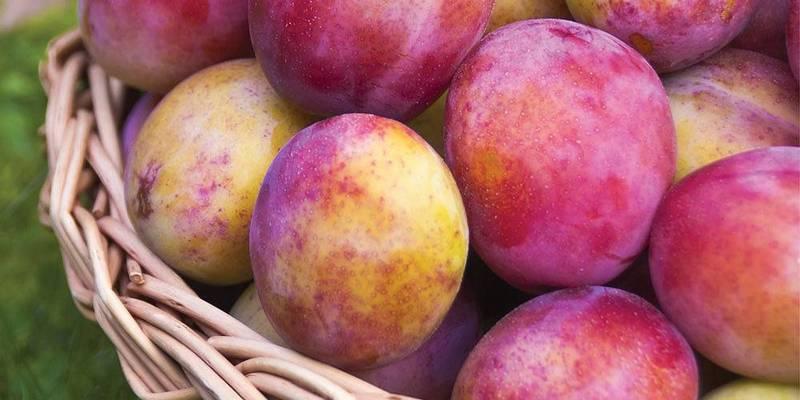 buah plum eropa
