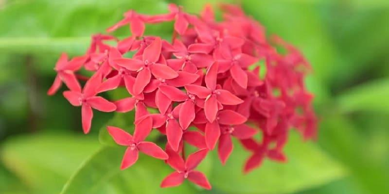 tanaman siantan