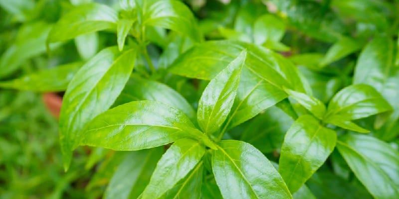 ramuan herbal TBC tuberkulosis dari sambiloto