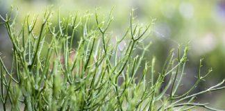 resep herbal patah tulang dari tanaman patah tulang