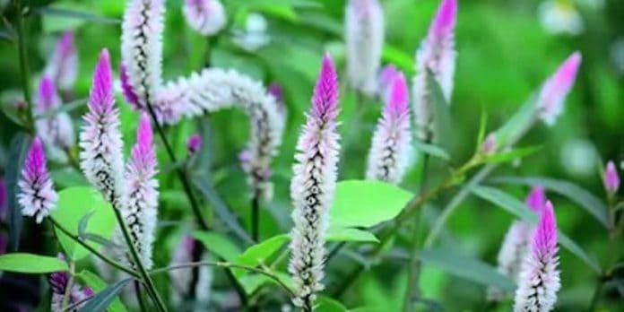 Tanaman Boroco untuk Resep Herbal Radang Kornea Mata