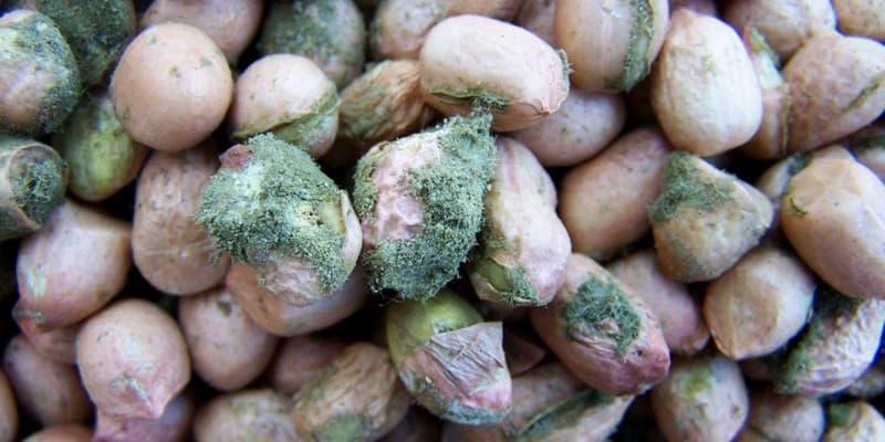 Aflatoksin pada Kacang Tanah
