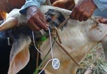Pencegahan Penyakit Antraks pada Hewan dan Manusia