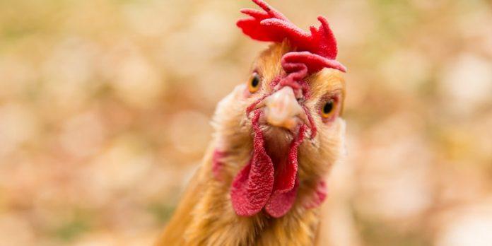 Ilustrasi Flu Burung pada Manusia