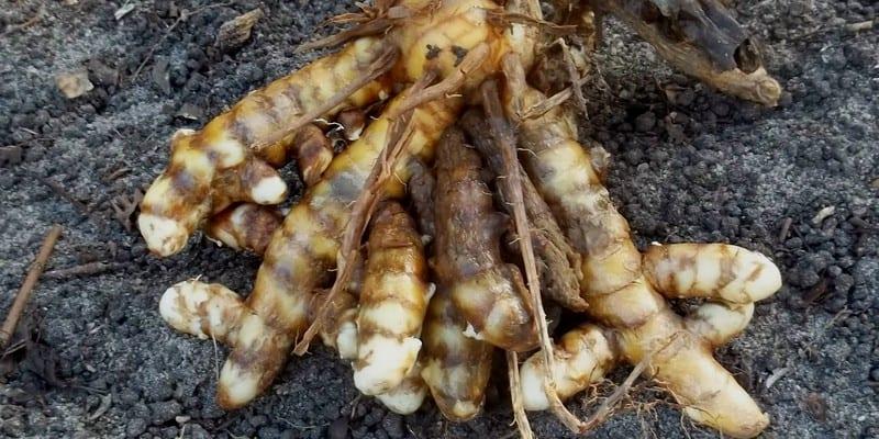 Kunyit atau Temu Putih (Curcuma zedoaria)