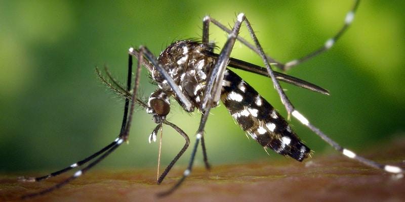 Nyamuk Aedes Albopictus Penyebar Chikungunya