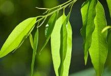 Tanaman Eucalyptus Obat Corona, Benarkah?