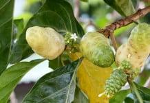 Noni Juice sebagai Herbal untuk Anti Artritis